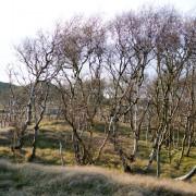 Hügel und Birken auf Norderney