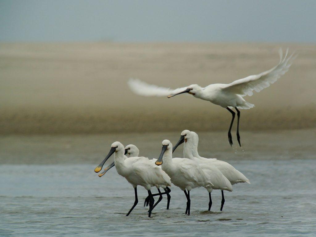 Im Frühjahr kehrt auch ein ganz besonderer Vogel in das Wattenmeer von Norderney zurück.